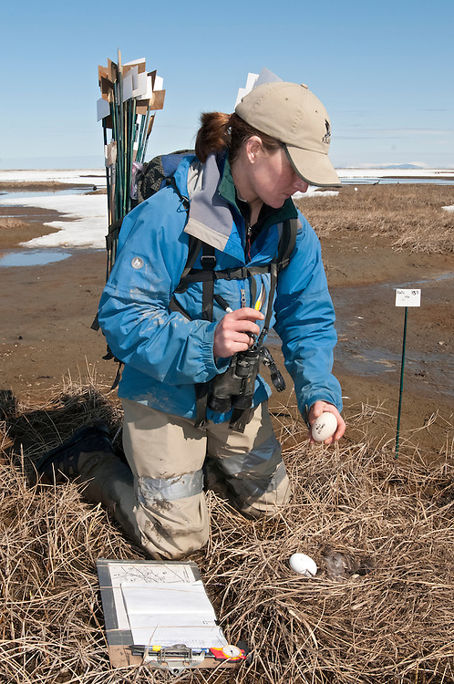 Amanda Van Dellen, Waterfowl biologist, measuring and marking eggs at Black Brant colony; Branta bernicla nigricans, Tutakoke River research camp, Yukon Delta NWR, Alaska