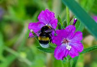 HALFWEG - insecten op de golfbaan , Aardhommel Bombus terrestri.  , Amsterdamse Golf Club. (AGC)  . Insecteninventarisatie  COPYRIGHT KOEN SUYK