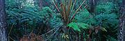 Ama'u fern, Rainforest, HVNP, Island of Hawaii<br />