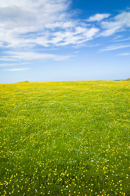 Buttercup meadow on Isle of Iona in the Inner Hebrides and Western Isles, Scotland