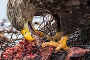 Closeup portrait of Hungry White-tailed Eagle | Nærportrett av sulten Havørn.