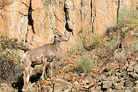 A bighorn sheep stands proudly in the wilderness south of Gunnison, Colorado