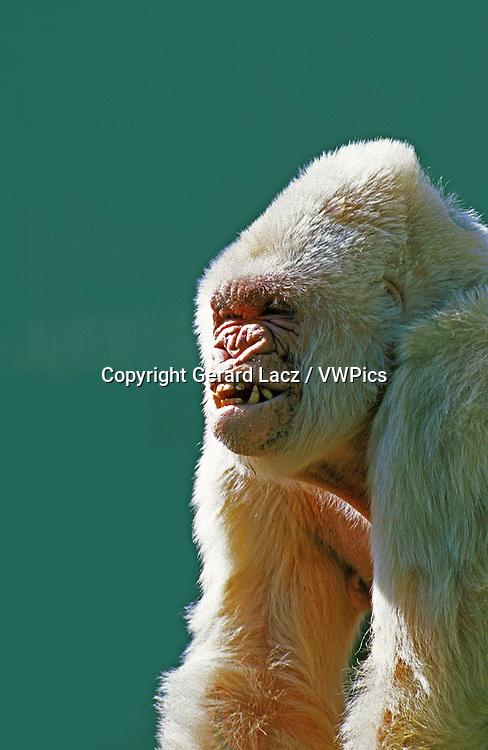 White Gorilla, gorilla gorilla, Male called Snowflake or Copito de Nieve, Barcelona Zoo