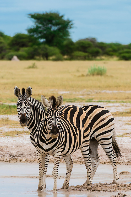 Herd of zebras, Nxai Pan National Park, Botswana.
