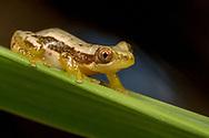 Golden Banana Frog (Afrixalus aureus)<br /> AFRICA: Mozambique: Sofala<br /> Gorongosa National Park<br /> 26-May-2018<br /> J.C. Abbott &amp; K.K. Abbott
