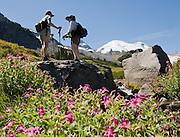 Lewis's Monkeyflower blooms on the Wonderland Trail to Summerland in Mount Rainier National Park, Washington, USA.