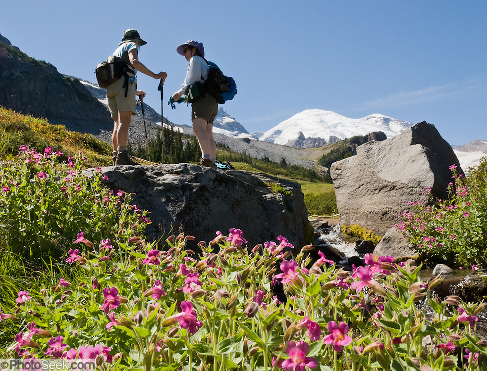 Lewis's Monkeyflower blooms on the Wonderland Trail to Summerland in Mount Rainier National Park, Washington, USA.