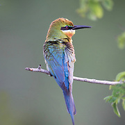 The blue-tailed bee-eater (Merops philippinus) is a near passerine bird in the bee-eater family Meropidae.  This is a bird which breeds in sub-tropical open country, such as farmland, parks or ricefields. It is most often seen near large waterbodies.