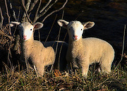 Two lambs, close up in field