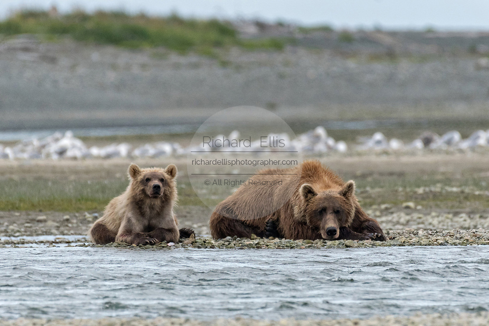 A Brown bear mother with her yearling cub rest along the lower lagoon at the McNeil River State Game Sanctuary on the Kenai Peninsula, Alaska. The remote site is accessed only with a special permit and is the world's largest seasonal population of brown bears in their natural environment.