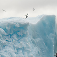 Snow petrels fly around an iceberg from the Nordenskjold Glacier in Cumberland East Bay on the north coast of South Georgia Island.