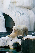 USA, SeaWorld San Diego California, Polar bears