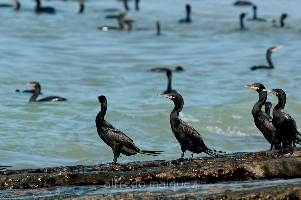 Group of Neotropic Cormorants (Phalacrocorax o. olivaceus) at the shore of Isla Pacheca. Las Perlas Archipelago, Panama Province, Panama, Central America.