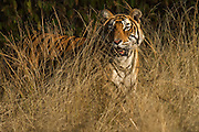 Tiger (Panthera tigris) 3 1/2 year old male. Ranthambhore National Park. Rajasthan. INDIA<br /> HABITAT & RANGE: Forests and grasslands up to 3,000 meters elevation and mangrove swamps of India, Nepal, Bhutan, and Bangladesh.<br /> Tigers are mainly nocturnal but do move around at dawn and dusk. They tend to be shy and retiring and are usually solitary but during breeding times are found in pairs. Cubs stay with their mother for up to 3 years. Tigers are territorial and communicate through scent marking and vocalisation. They may roar, growl, moan or resonate 'aonnh'. They feed on deer, wild boar, monkeys, peafowl and livestock. They can take animals as large as adult Gaur, water buffalo and calves of Indian Rhinoceros. However they do also take smaller mammals, reptiles and amphibians. They hunt by stalking and ambushing but when deer, monkeys or peafowl see or smell them they give loud alarm calls which alerts which all other animals.<br /> ENDANGERED SPECIES. They are hunted for the illegal export of their skin and bones to the Far East for medicinal purposes.<br /> Ranthambore National Park is known for its good tiger sightings as it appears to have tigers that are more diurnal than other areas