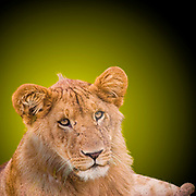 Digitally enhanced image of a Lioness in the grass, Photographed in Masai Mara, Kenya