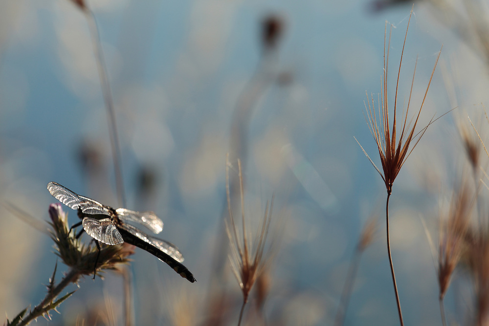 Club-tailed Dragonfly, Gomphus vulgatissimus, (Odonata, Gomphidae)<br /> Lagadin region. Lake Ohrid (693m).<br /> Galicica National Park, Macedonia, June 2009<br /> Mission: Macedonia, Lake Macro Prespa /  Lake Ohrid, Transnational Park<br /> David Maitland / Wild Wonders of Europe