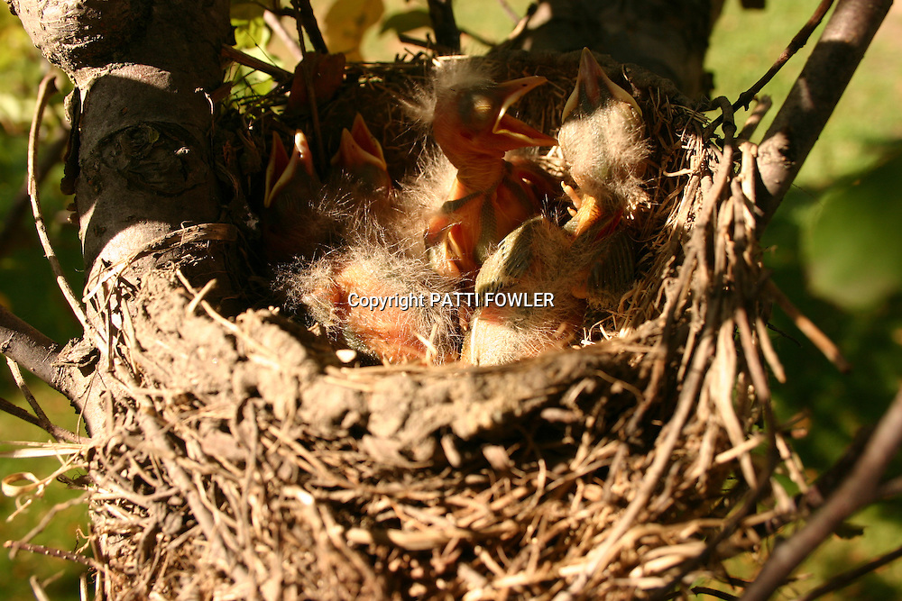 juvenile Robins in nest