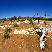 An oryx, or gemsbok, (Oryx gazella) lies dead after becoming entangled in a rancher's barbed-wire fence in South Africa.