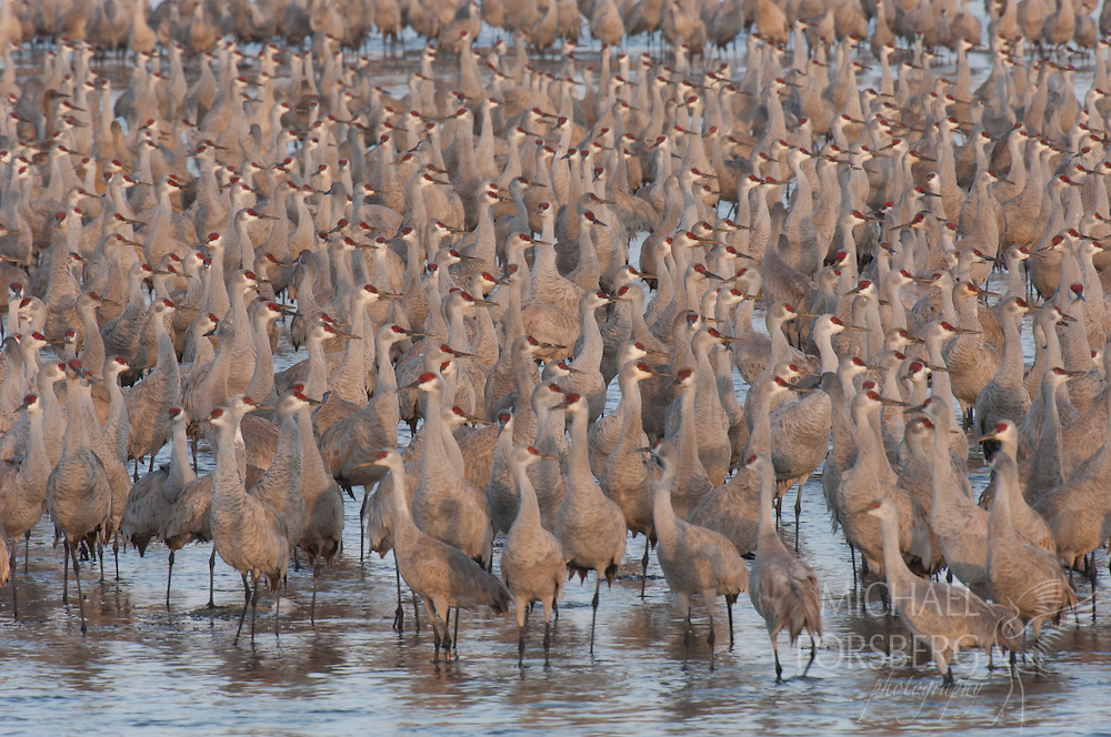 Platte River, Nebraska<br /> <br /> Migrating Sandhill cranes on river roost at first light.