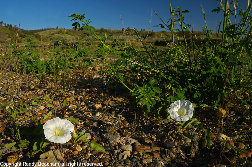 Evening primrose on a gravel bar in the Missouri River Breaks. American Prairie Reserve region of the C.M. Russell National Wildlife Refuge south of Malta in Phillips County, Montana.