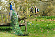 © Licensed to London News Pictures. 22/03/2012. Kew, UK. People watch a peacock sitting on a bench in the sunshine. People enjoy the spring sunshine in The Royal Botanic Gardens at Kew today, 22 March 2012. Temperatures are set to reach 18 degrees celsius in some parts of the UK today. Photo credit : Stephen SImpson/LNP