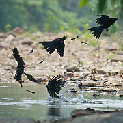 The Greater Racket-tailed Drongo (Dicrurus paradiseus) shown in sequence as it feeds on Gerridae water skippers at the Huai Kha Khaeng Wildlife Sanctuary, Thailand.