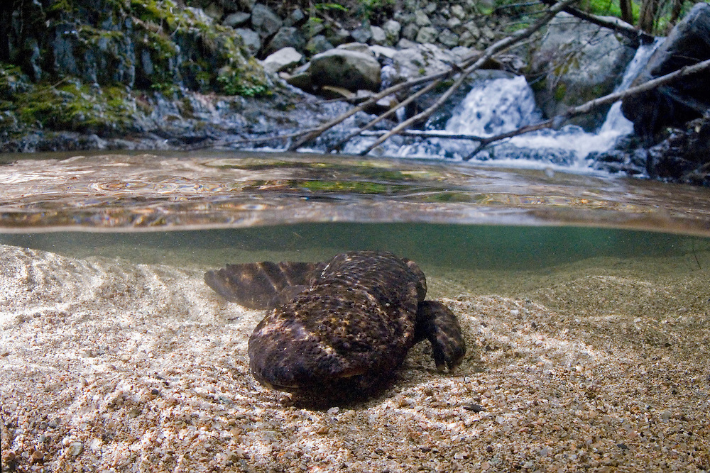 Over/Under image of a Japanese Giant Salamander (Andrias japonicus) in its habitat;  This ancient amphibian grows up to 56 inches (142 cm) in length;  Lives in cold rivers and streams;  Lateral skinfolds improve oxygen absorption; Longevity possibly over 100 years; Endangered; Japan