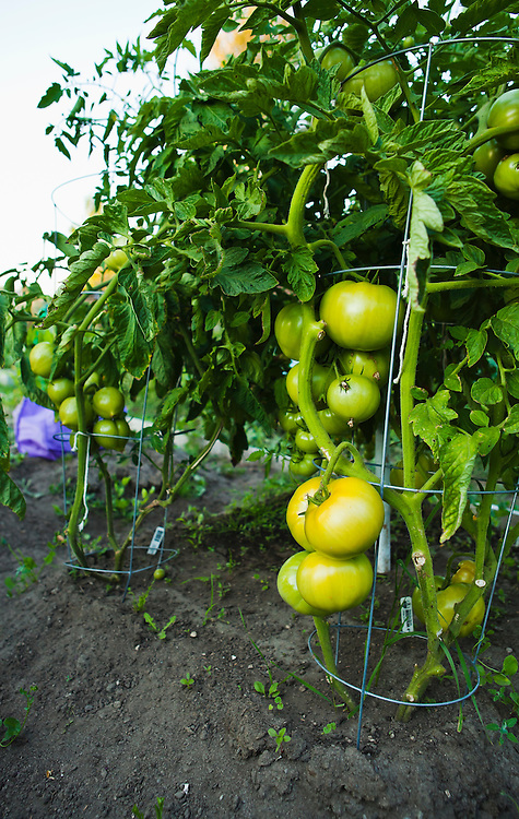 Ripening green tomatos on the vine in a community garden.  Seattle, Washington.