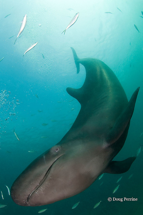 false killer whale, Pseudorca crassidens