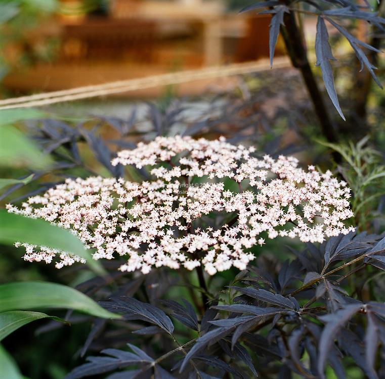 Sambucas - black lace elderberry