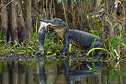 Wild, unrestrained American Alligator (Alligator mississippiensis) feeding on a common snook (Centropomus undecimalis) in the Big Cypress National Preserve in the Florida Everglades.