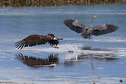 A bald eagle (Haliaeetus leucocephalus) manages to steal a midshipman fish from a great blue heron (Ardea herodias) in Hood Canal, Washington. Hundreds of bald eagles, herons, and gulls congregate near Seabeck in the early summer to feast on the migrating fish that get trapped in oyster beds during low tides. Bald eagles predominently feed by stealing food.
