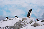 Gentoo penguins, Pygoscelis papua, standing on rocks, Petermann Island, Antarctica.