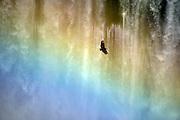 Black vulture (Coragyps atratus) in Iguazu Falls, Brazil.
