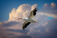 White Pelican soaring over the Gulf of Mexico.