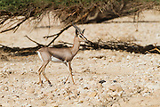 a very rare Acacia Gazelle (Gazella gazella acaciae). Photographed in the Aarava desert, Israel