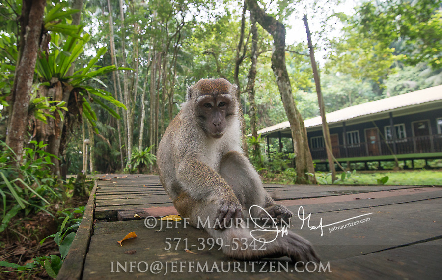 Long-tailed macaque in Bako National Park, Borneo, Malaysia.