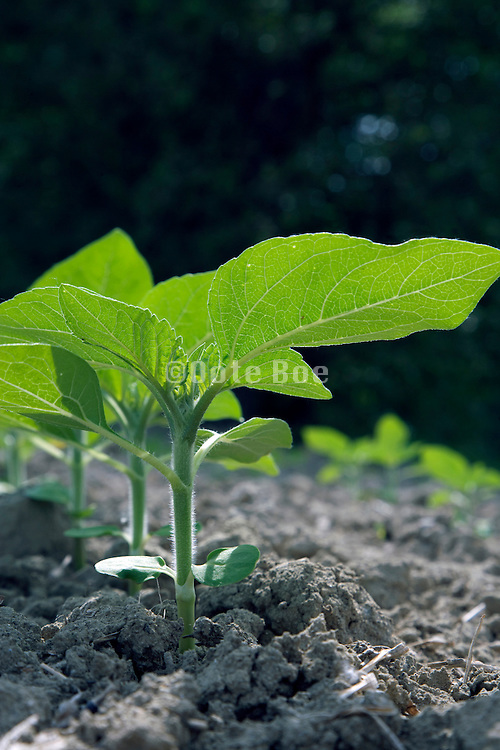 sunflower plants beginning to grow