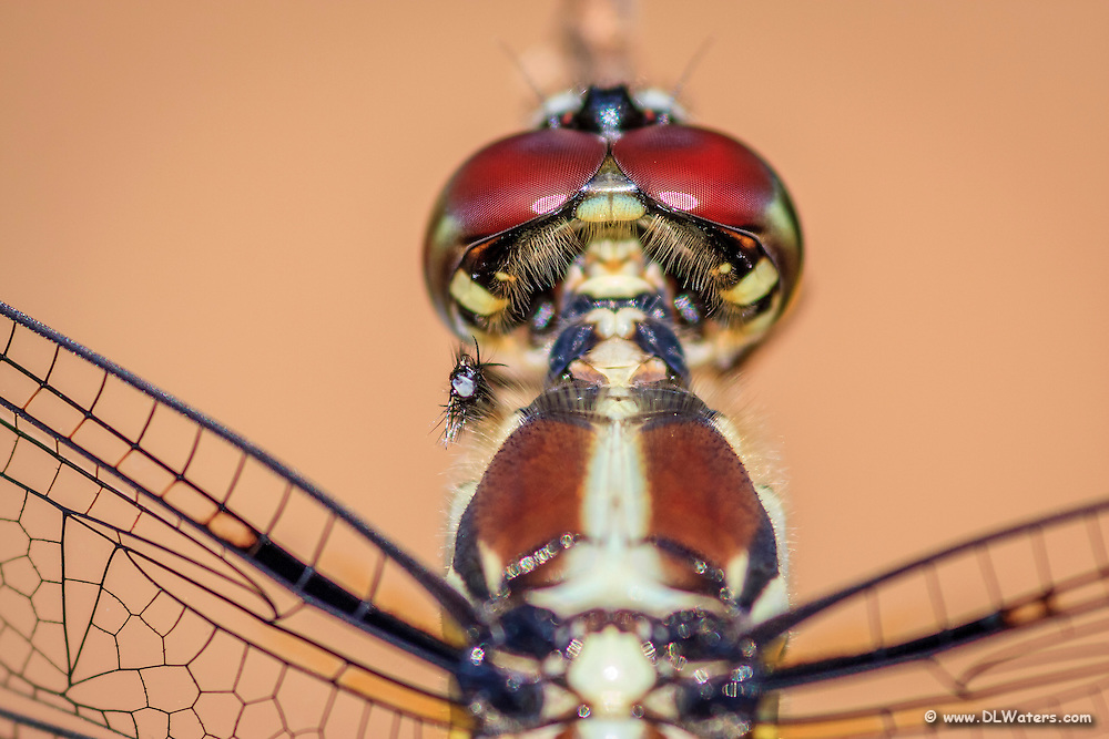 Very close-up photo of a dragonfly.
