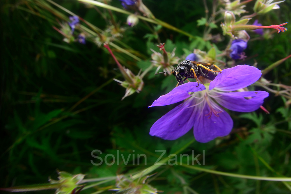 Blattwespe, Pflanzenwespe (Elinora koehleri)