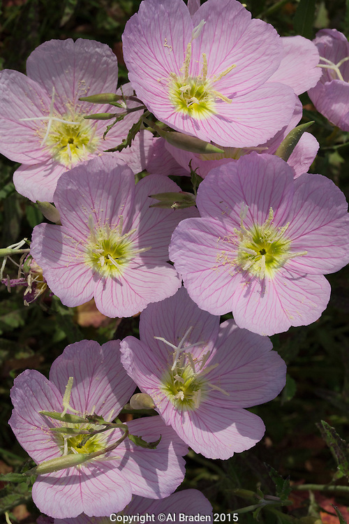 Pink Evening Primrose (Oenothera speciosa), Travis County, Texas