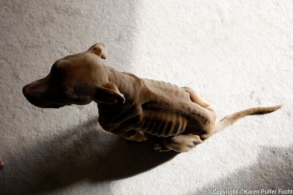 Emaciated pit bull  that were rescued in Memphis, Tennessee after being taken from abusive owners.