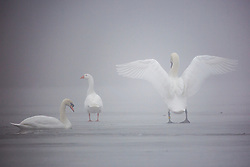 © Licensed to London News Pictures. 05/03/2018. Leeds UK. Swan's & a Goose stand on the frozen lake at Golden Acre park in Leeds this morning as the county is covered with thick fog for a second day. Photo credit: Andrew McCaren/LNP