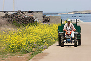 Jeju Island. Tractor passing a rape field in full bloom.