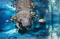 Florida manatee, Trichechus manatus latirostris, a subspecies of the West Indian manatee, endangered. A manatee floats near a warm blue spring and submerged tree roots surrounded by many fish, bream, Lepomis spp. The manatee is tolerating the fish attention as it is the price to pay for sharing the warm waters. Bream target dermis and dead skin on the manatee. Horizontal orientation with blue water and light rays. Undisturbed, natural behavior. Three Sisters Springs, Crystal River National Wildlife Refuge, Kings Bay, Crystal River, Citrus County, Florida USA.