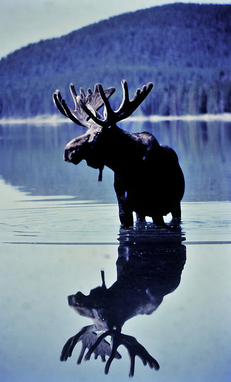 This bull forms a perfect reflection in an unusually calm lake. Yellowstone National Park, Wyoming