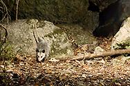 Virginia Opossum (Didelphis virginiana)<br /> TEXAS: Travis Co.<br /> Brackenridge Field Laboratory; Austin<br /> 7-Nov-2008<br /> J.C. Abbott<br /> photographed with trap camera