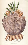 Hand painted botanical study of Zamia lanuginosa plant anatomy from Fragmenta Botanica by Nikolaus Joseph Freiherr von Jacquin or Baron Nikolaus von Jacquin (printed in Vienna in 1809)