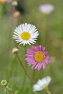 Mexican Fleabane Erigeron karvinskianus Height to 25cm<br /> Much-branched, slender and rather straggly perennial. Flowers are borne in Daisy-like heads, 20mm across, comprising yellow disc florets and either white or pinkish-red ray florets (Jul-Aug). Leaves are narrowly-oval, the basal ones toothed. Naturalised as a garden escape, mainly in S and SW England.