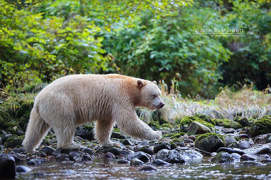 Kermode bear in the Great Bear Rainforest, BC, Canada